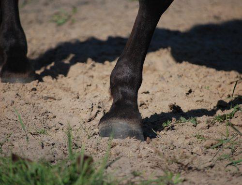 La laminite nel cavallo: attenzione all'alimentazione!