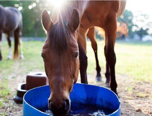 L'acqua per il cavallo: non dimentichiamoci mai della sua importanza