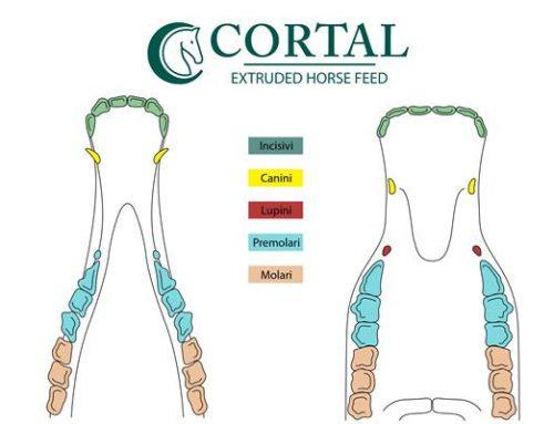 I denti e la masticazione del cavallo